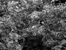 Красивые цветки на ветви дерева на черно-белом фото Стоковые Фотографии RF