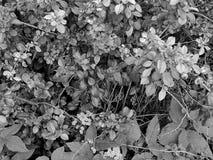 Красивые цветки на ветви дерева на черно-белом фото Стоковое фото RF