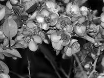 Красивые цветки на ветви дерева на черно-белом фото Стоковые Изображения