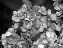 Красивые цветки на ветви дерева на черно-белом фото Стоковые Изображения RF