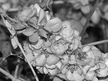Красивые цветки на ветви дерева на черно-белом фото Стоковая Фотография RF