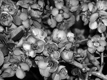 Красивые цветки на ветви дерева на черно-белом фото Стоковое Изображение