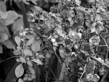 Красивые цветки на ветви дерева на черно-белом фото Стоковая Фотография