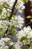 Красивые цветки на грушевом дерев дереве Стоковые Изображения RF