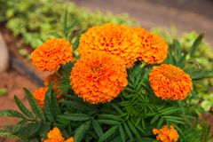 Красивые цветки на кустах необычно красивые цветковые растения оранжевое patula tagetes цветков стоковая фотография