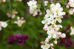 Красивые цветки на яблоне Стоковая Фотография RF