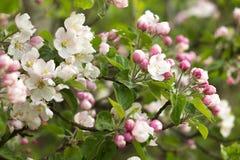 Красивые цветки на яблоне Стоковое Изображение RF