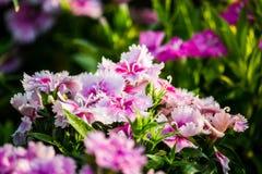 Красивые цветки предпосылка, конец-вверх красивого muti-цвета f Стоковые Изображения