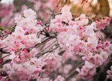 Красивые цветки Сакуры в Японии, селективном фокусе Стоковое фото RF