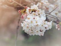 Красивые цветки Сакуры в Японии Стоковая Фотография