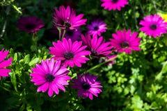 Красивые цветки сирени как маргаритка Ecklonis Osteospermum Eklon Osteospermum на предпосылке зеленых листьев : стоковая фотография
