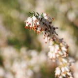 Красивые цветки темное Star.Calluna vulgaris стоковая фотография