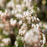 Красивые цветки темное Star.Calluna vulgaris Стоковое Изображение
