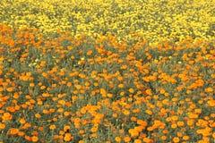 Красивые цветки 2 цвета Стоковое Фото