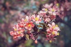 Красивые цветки японца Сакуры Чувствительное цветя branche Стоковые Фотографии RF