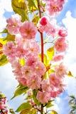 Красивые цветки японца Сакуры Чувствительное цветя branche Стоковые Изображения
