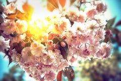 Красивые цветки японца Сакуры Чувствительное цветя branche Стоковое Изображение