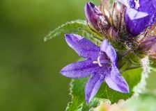 Красивые цветки bluebells на предпосылке зеленой травы стоковые изображения