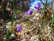 Красивые цветки Hepatica Стоковые Изображения
