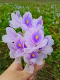 Красивые цветки Pontederiaceae стоковое изображение