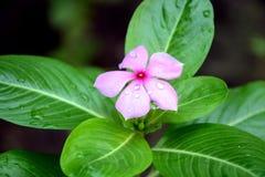 Красивые цветки roseus Catharanthus естественные стоковая фотография