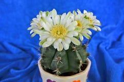 Красивые цветни и лепестки кактуса белого цветка Стоковая Фотография RF