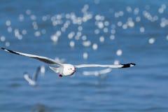 Красивые чайки Стоковые Фотографии RF