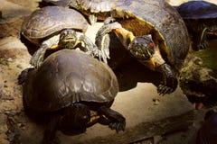 Живая природа, животные, концепция природы Красивые черепахи Outdoors Красно-ушастый слайдер стоковые фотографии rf