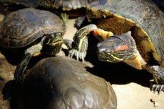 Живая природа, животные, концепция природы Красивые черепахи Outdoors Красно-ушастый слайдер стоковое изображение rf