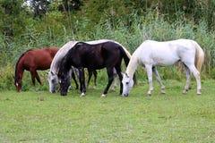 Красивые чистоплеменные аравийские лошади пася на летнем времени выгона Стоковые Фотографии RF