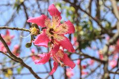 Красивые чувствительные розовые большие цветки Chorisia или speciosa Ceiba растя на коре дерева которого стоковая фотография