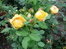 Красивые шаровидные цветки и розовые бутоны сорта растения ` торжества желтого ` розы золотого стоковые изображения rf