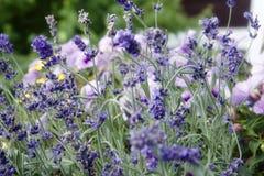 Красивые шипы лаванды в саде Стоковая Фотография