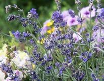 Красивые шипы лаванды в саде Стоковое Изображение