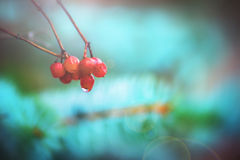 Красивые ягоды и синь Стоковые Фото