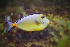 Красивые яркие тропические рыбы аквариума Мор-рыба императора красочная тропическая Стоковые Изображения RF