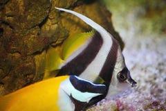 Красивые яркие тропические рыбы аквариума Мор-рыба императора красочная тропическая Стоковое Изображение