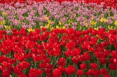 Красивые яркие тюльпаны цветков Стоковые Изображения RF