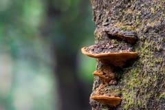 Красивые ярко покрашенные оранжевые fungs на стволе дерева Стоковые Изображения RF