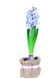 Красивые ярк-голубые гиацинты стоковое изображение