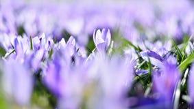 Красивые blossoming цветки крокуса Стоковая Фотография RF