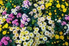 Красивые blossoming chrysanths в саде осени ботаническом стоковые изображения rf