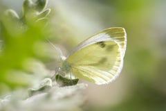 Красивые brassicae Pieris бабочки капусты закамуфлированные на цветке стоковые фотографии rf