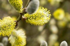 Красивые Catkins цветут в весеннем времени r стоковая фотография