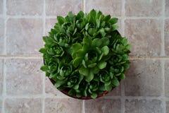 Красивые houseleeks, цветок empervivum в центре рамки, плиток предпосылки белых, сверху Стоковое Фото