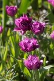 Красивые magenta polypetal тюльпаны в ботаническом саде Стоковая Фотография RF