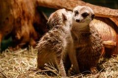 Красивые meerkats сыграны стоковые изображения rf