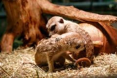 Красивые meerkats сыграны стоковое фото rf