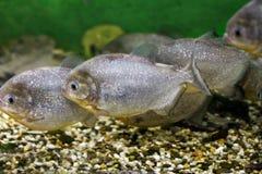 Красивые piranhas рыб аквариума Стоковые Изображения RF