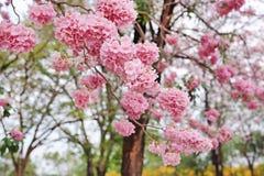 Красивые rosea Tabebuia или деревья трубы зацветая весной сезон Розовый цветок в парке стоковые фотографии rf